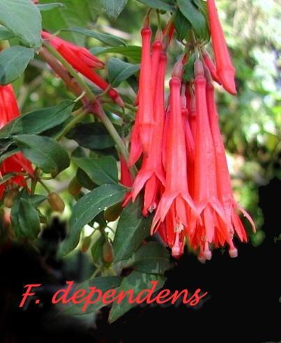 Fuchsia Species